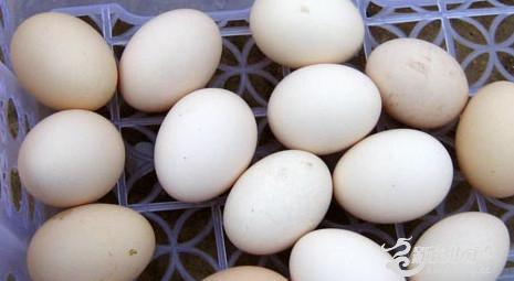 农村核桃树下养的土鸡蛋