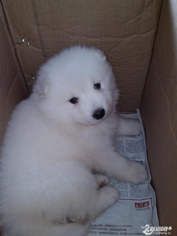 刚买一个星期,纯种,母的,可配对,纯白色很可爱的小狗,只是我昨天买回来之后遭到家里人强烈反对,家人都不让养狗,我新找了个工作比较忙,我也没有养狗的经验,怕照料不好小狗,但是再拿回郑州太麻烦了,所以在新郑低价出售。希望给小狗找一个好主人。已经打过疫苗,做过检查。有意向领养的电话联系。价格面议。(联系我时,请说明是从新郑网上看到的,谢谢)