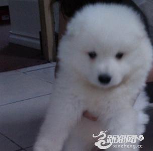 纯白色可爱小狗